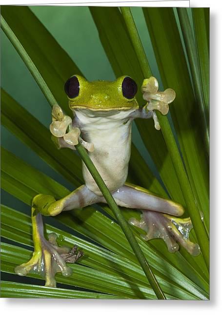 Leaf Frog Greeting Cards - Gliding Leaf Frog Agalychnis Spurrelli Greeting Card by Pete Oxford