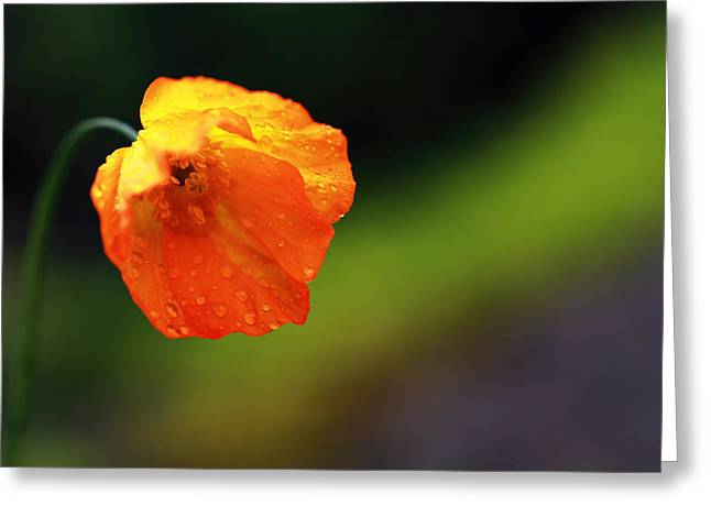 Sphaeralcea Greeting Cards - Globemallow Greeting Card by Grant Glendinning
