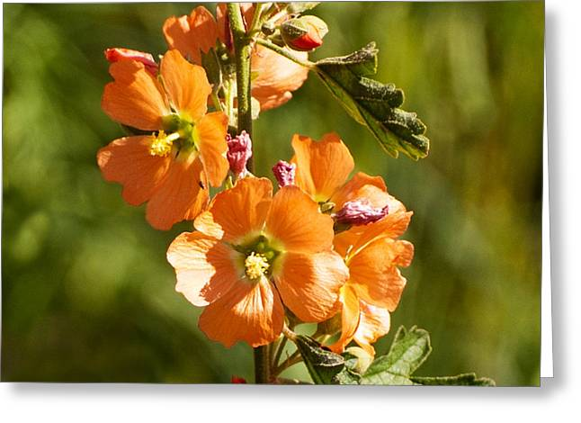 Sphaeralcea Greeting Cards - Globemallow Greeting Card by Pamela Bycraft