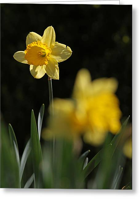 Glorious Daffodil Greeting Card by Juergen Roth