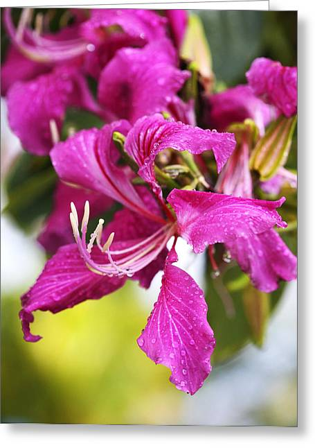Hawaiin Greeting Cards - Glorious Pink Amherstia Nobilis Greeting Card by Marilyn Hunt