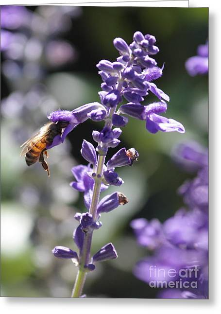 Sunlight On Flowers Greeting Cards - Glowing Bee in Purple Flowers Greeting Card by Carol Groenen