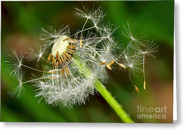 Sowing Greeting Cards - Glowing Dandelion Spores Greeting Card by Kaye Menner