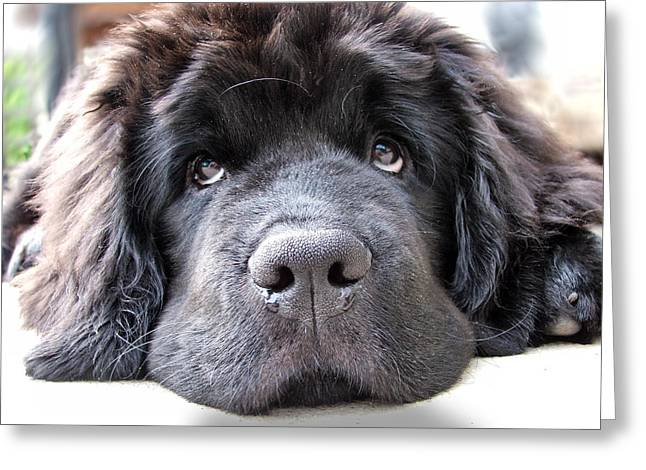 Newfoundland Puppy Digital Greeting Cards - Glum Greeting Card by Gary Yates