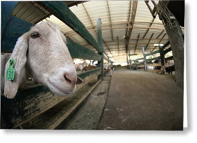 Ear Tags Greeting Cards - Goat Farming Greeting Card by Photostock-israel