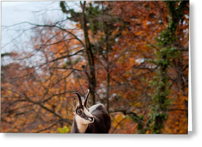 Goat in the Austrian Alps Greeting Card by Andre Goncalves
