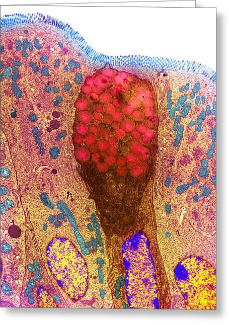 Duodenum Greeting Cards - Goblet Cells Greeting Card by Steve Gschmeissner