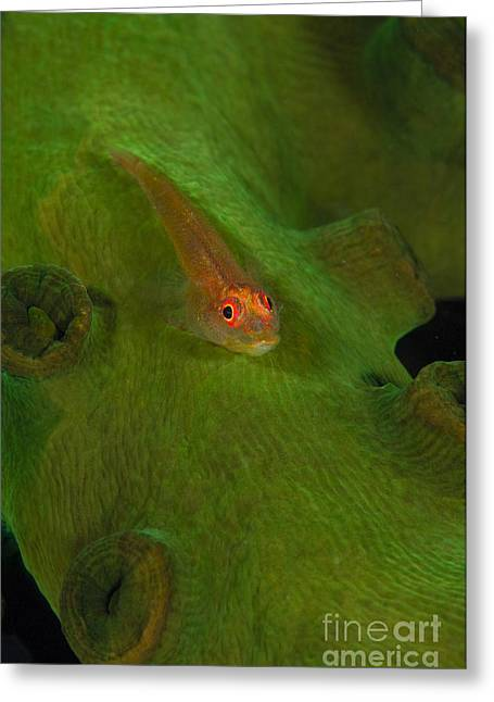 Goby Greeting Cards - Goby On A Coral, Australia Greeting Card by Todd Winner