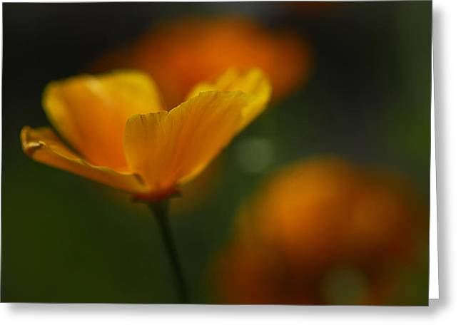 Golden Poppies Greeting Cards - Going Solo II  Greeting Card by Saija  Lehtonen