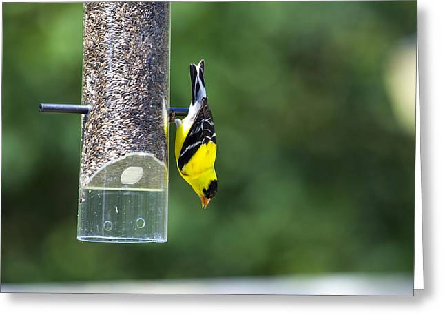 Gold Finch Greeting Card by Richard Lee