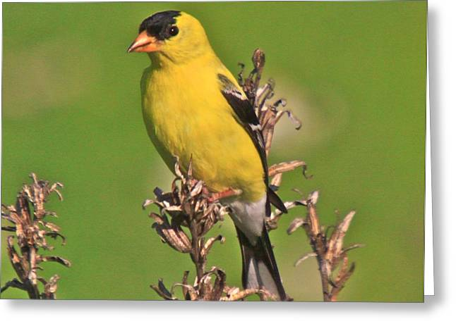 Great Birds Mixed Media Greeting Cards - Gold Finches-6 Greeting Card by Robert Pearson
