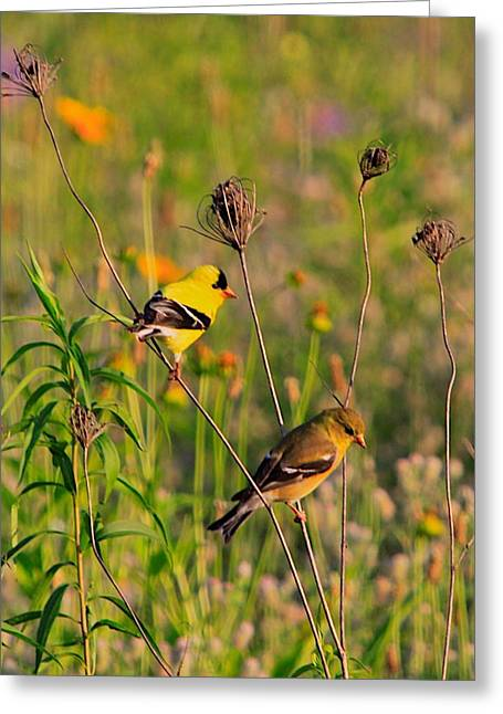 Great Birds Mixed Media Greeting Cards - Gold Finches Greeting Card by Robert Pearson