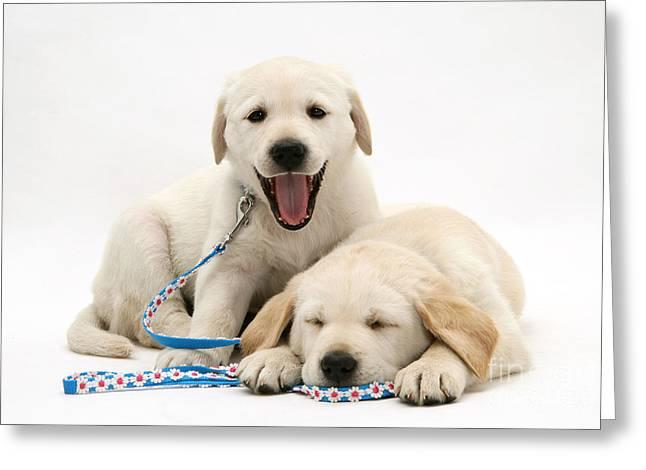Bred Greeting Cards - Goldador Retriever Pups Greeting Card by Jane Burton