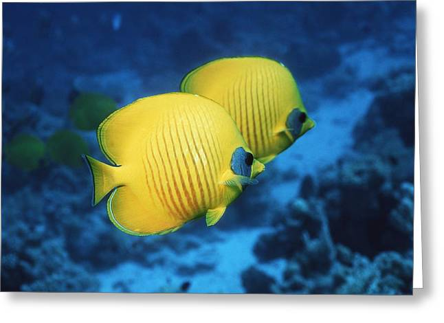 Chaetodon Semilarvatus Greeting Cards - Golden Butterflyfish Pair Greeting Card by Georgette Douwma