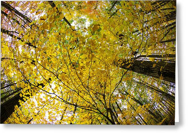 Autumn Prints Photographs Greeting Cards - Golden Canopy Greeting Card by Rick Berk
