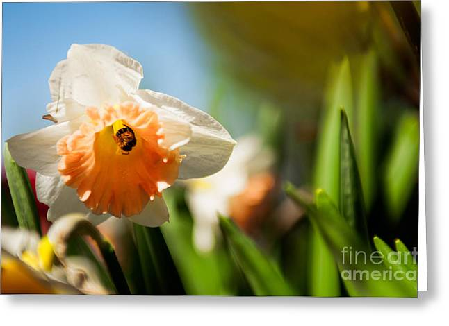Bee On A Daffodil Flowe Greeting Cards - Golden Daffodils  Greeting Card by Venura Herath