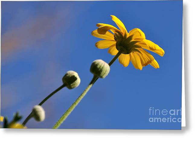 Sunlight On Flowers Greeting Cards - Golden Daisy on Blue Greeting Card by Kaye Menner