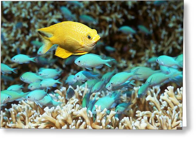 Damselfish Greeting Cards - Golden Damselfish And Blue-green Chromis Greeting Card by Georgette Douwma