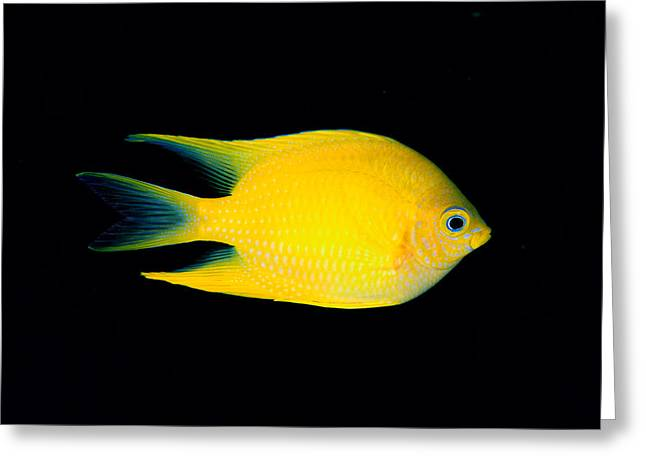 Damselfish Greeting Cards - Golden Damselfish Greeting Card by Dave Fleetham - Printscapes
