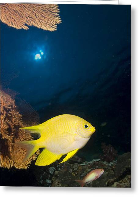 Damselfish Greeting Cards - Golden Damselfish Greeting Card by Peter Scoones