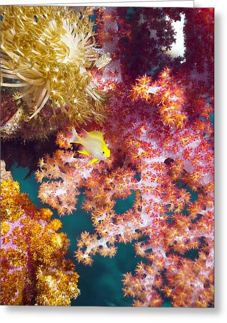 Reef Fish Greeting Cards - Golden Damselfish With Soft Coral Greeting Card by Georgette Douwma