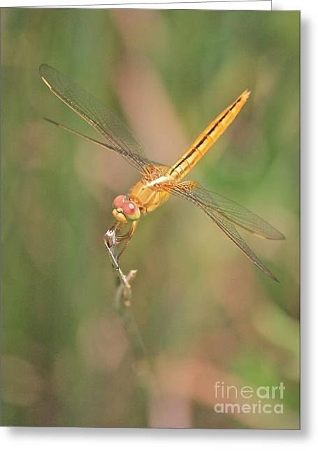 Yellow Dragonfly Greeting Cards - Golden Dragonfly in Green Marsh Greeting Card by Carol Groenen