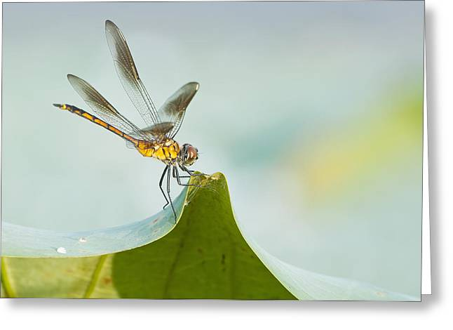 Yellow Dragonfly Greeting Cards - Golden Dragonfly on Water Lily Leaf Greeting Card by Bonnie Barry