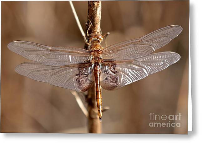 Dragonfly Macro Greeting Cards - Golden Dragonfly Wings Greeting Card by Carol Groenen