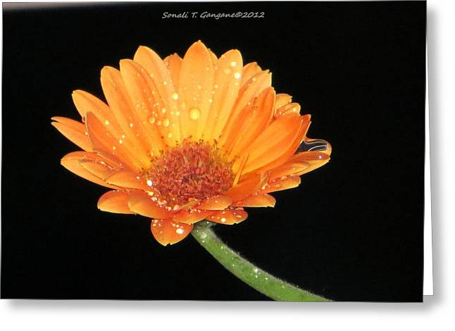 Barberton Daisy Greeting Cards - Golden droplets Greeting Card by Sonali Gangane