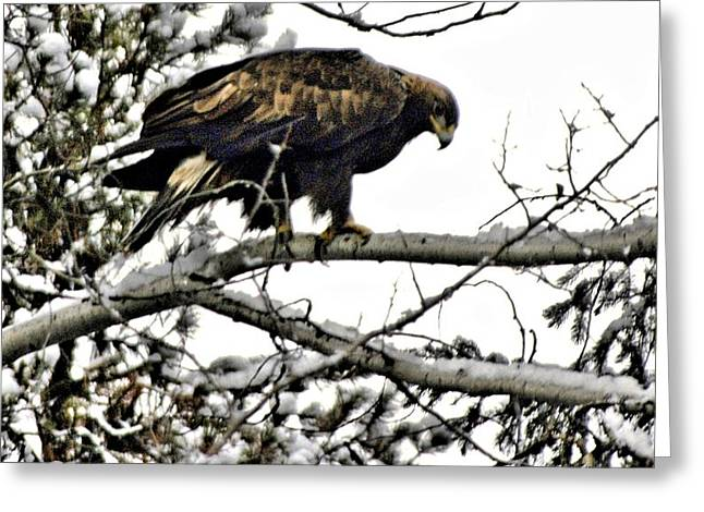 Golden Eagle Watches Greeting Card by Don Mann