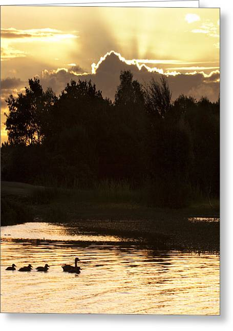 Ducklings Greeting Cards - Golden Evening Greeting Card by Angel  Tarantella