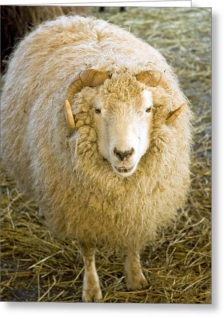 The Nature Center Greeting Cards - Golden Fleece Greeting Card by LeeAnn McLaneGoetz McLaneGoetzStudioLLCcom