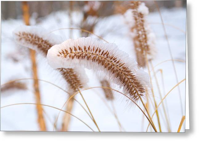 Snow Seeds Greeting Cards - Golden Foxtail Greeting Card by Douglas Barnett