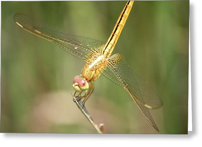Yellow Dragonfly Greeting Cards - Golden Glow in the Marsh Greeting Card by Carol Groenen