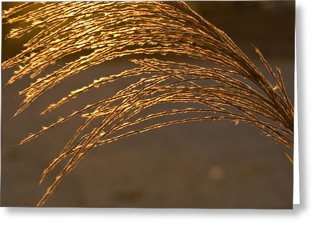 Translucence Greeting Cards - Golden Grass Greeting Card by Douglas Barnett