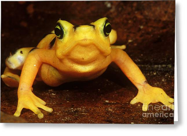 Critically Endangered Animal Greeting Cards - Golden Harlequin Frog Greeting Card by Dante Fenolio