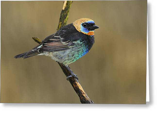 Neotropics Greeting Cards - Golden-hooded Tanager Greeting Card by Tony Beck