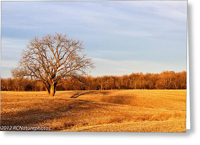 Tree In Golden Light Greeting Cards - Golden Hour shadows Greeting Card by Rachel Cohen