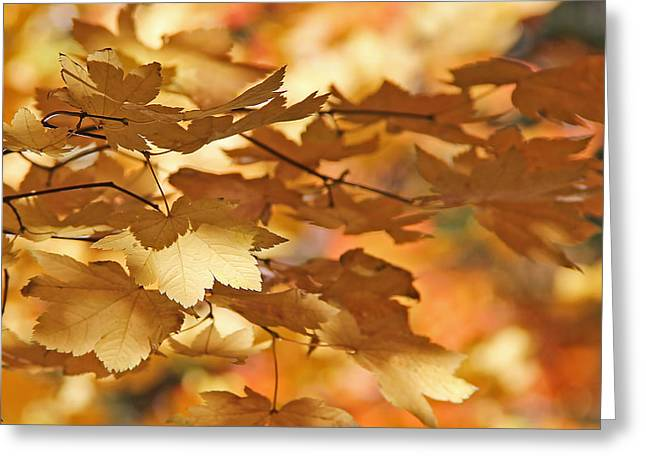 Golden Light Autumn Maple Leaves Greeting Card by Jennie Marie Schell