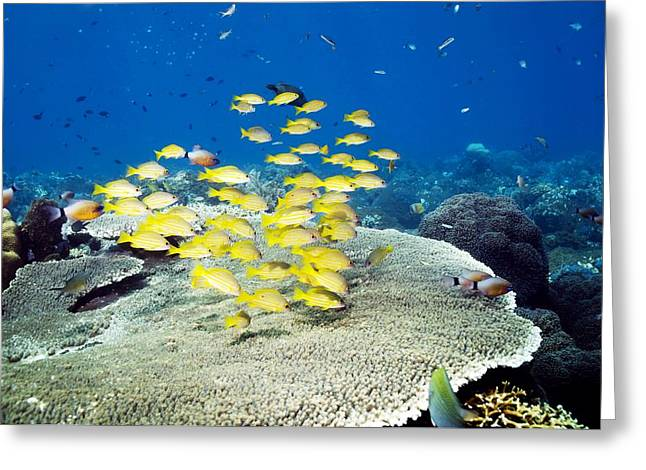 Yellow Line Greeting Cards - Golden Lined Snappers Over Coral Greeting Card by Georgette Douwma