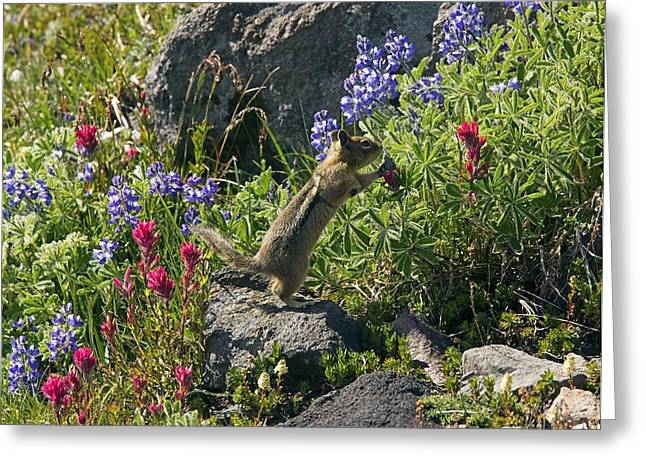 Eating Lupines Greeting Cards - Golden-mantled Ground Squirrel Feeding Greeting Card by Bob Gibbons