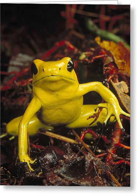 Golden Poison Dart Frog Phyllobates Greeting Card by Mark Moffett