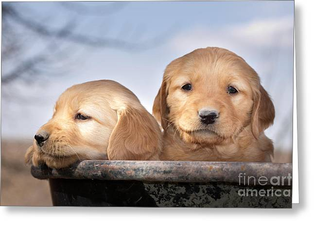 Whimsical Dog Art Greeting Cards - Golden Puppies Greeting Card by Cindy Singleton