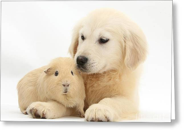 House Pet Greeting Cards - Golden Retriever Pup And Yellow Guinea Greeting Card by Mark Taylor