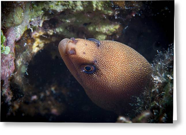 Jean Noren Greeting Cards - Golden tail eel Greeting Card by Jean Noren