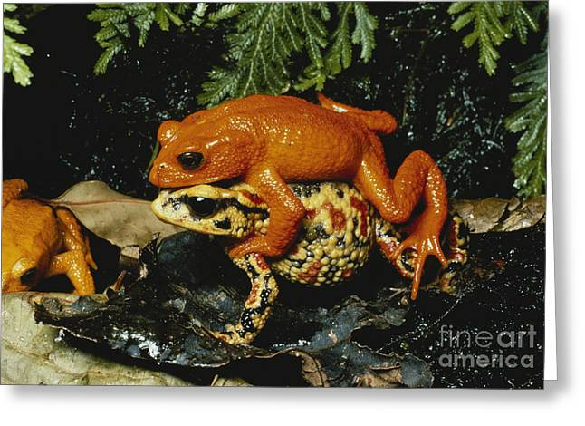 Anuran Greeting Cards - Golden Toads Mating Greeting Card by Gregory G. Dimijian, M.D.