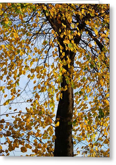 Autumn Art Greeting Cards - Golden tree Greeting Card by Carol Lynch