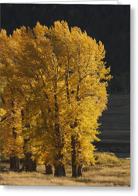 Golden Tree Greeting Card by Holst Photography