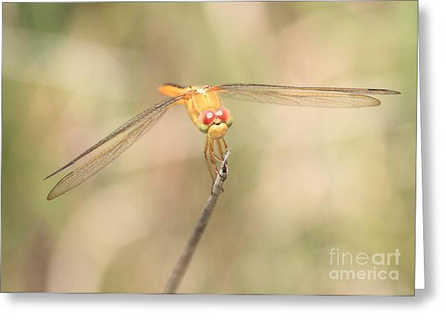 Yellow Dragonfly Greeting Cards - Golden-Winged Dragonfly Greeting Card by Carol Groenen