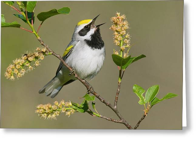 Us Open Photographs Greeting Cards - Golden-winged Warbler Vermivora Greeting Card by Steve Gettle